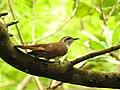 Banded bay cuckoo (ചെങ്കുയിൽ ) - 6.jpg