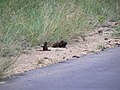 Banded mongoose and friends (393160691).jpg