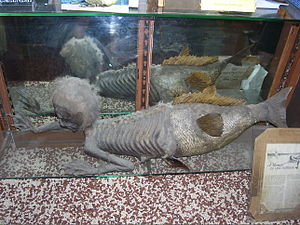 Fiji mermaid - The Banff Merman, similar to a Fiji mermaid, on display at the Indian Trading Post