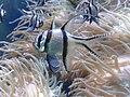 Banggai cardinal fish at chester zoo.jpg