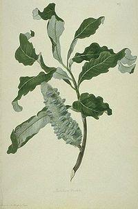 Banksia dentata watercolour from Bank's Florilegium