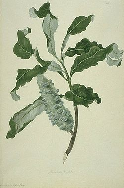 a watercolour predominantly in green, or a leaves and fruiting spike of a plant specimen