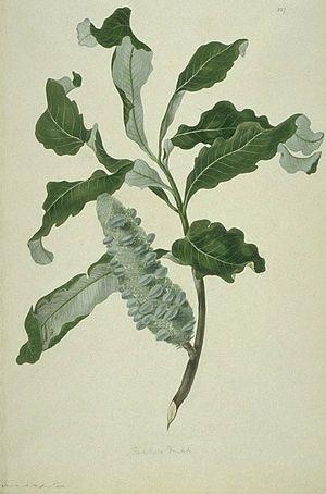 Banksia dentata - Image: Banksia dentata watercolour from Bank's Florilegium
