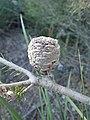 Banksia meisneri fruit.jpg