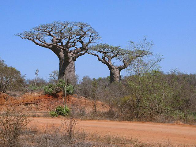 Teplomilné rastliny - baobaby