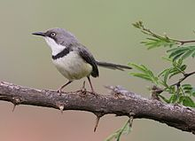 Bar-throated Apalis, Apalis thoracica, at Marakele National Park, Limpopo, South Africa (16216637960).jpg