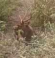 Barasingha (Rucervus duvaucelii) in Chitwan National Park, Nepal.jpg
