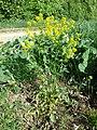 Barbarea vulgaris sl3.jpg