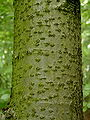 Bark of Sorbus torminalis.jpg