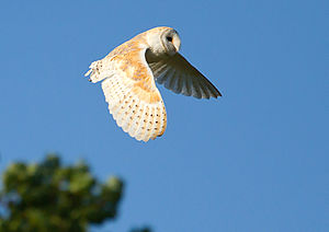 Barn Owl West Acre 1.jpg