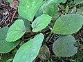 Bartlettina sordida (Less.) R.King and H.Robinson (AM AK327049-1).jpg