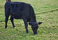Basildon Park Cows (6320391402).jpg