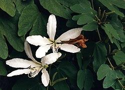 Bauhinia forficata 01.jpg