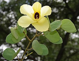 Bauhinia tomentosa (Camel foot tree) in Hyderabad, AP W IMG 9479