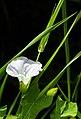 Beautiful but noxious (22034845556).jpg
