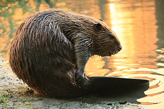 Martinez, California beavers - Yearling beaver in Alhambra Creek