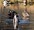 Beaver pond, Stanley park (2288774403).jpg