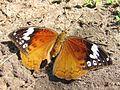 Bebearia cocalia female Mwabungo Kenya 2011.JPG