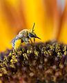 Bee Happy (5989949471).jpg
