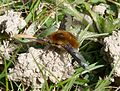 Bee fly. Bombylius major - Flickr - gailhampshire.jpg