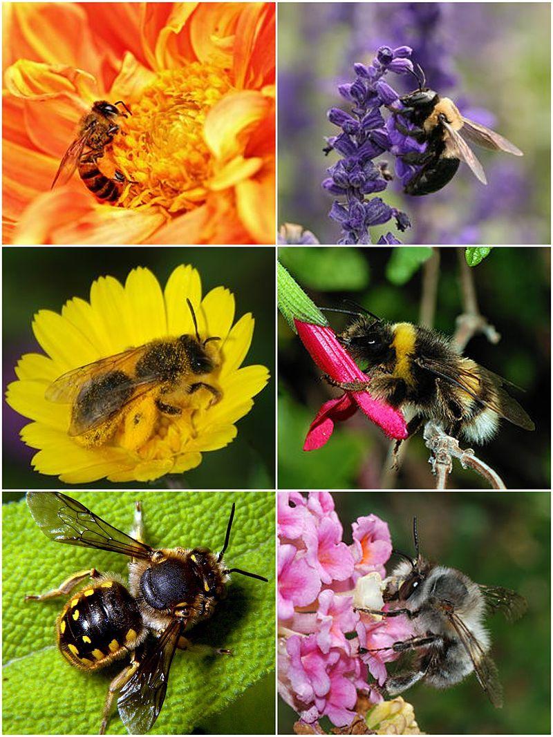 Description de l'image Bee_montage.jpg.