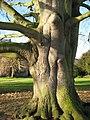 Beech tree, Tewkesbury - geograph.org.uk - 1065724.jpg