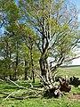 Beech trees, Caldcot Plantation - geograph.org.uk - 425102.jpg