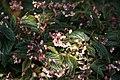 Begonia Venezuelan Species 2zz.jpg