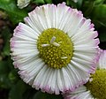 Bellis perennis showing ray florets in the disc florets, Ayrshire, Scotland.jpg