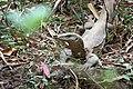 Bengal monitor (Varanus bengalensis) or common Indian monitor - ഉടുമ്പ്. (31362794610).jpg