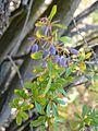 Berberis libanotica (Horsh Ehden).jpg