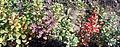 Berberis thunbergi 'Atropurpureum' segregation.jpg