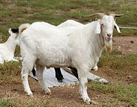Billy goat.jpg