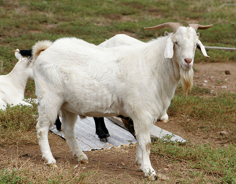 پرونده:Billy goat.jpg