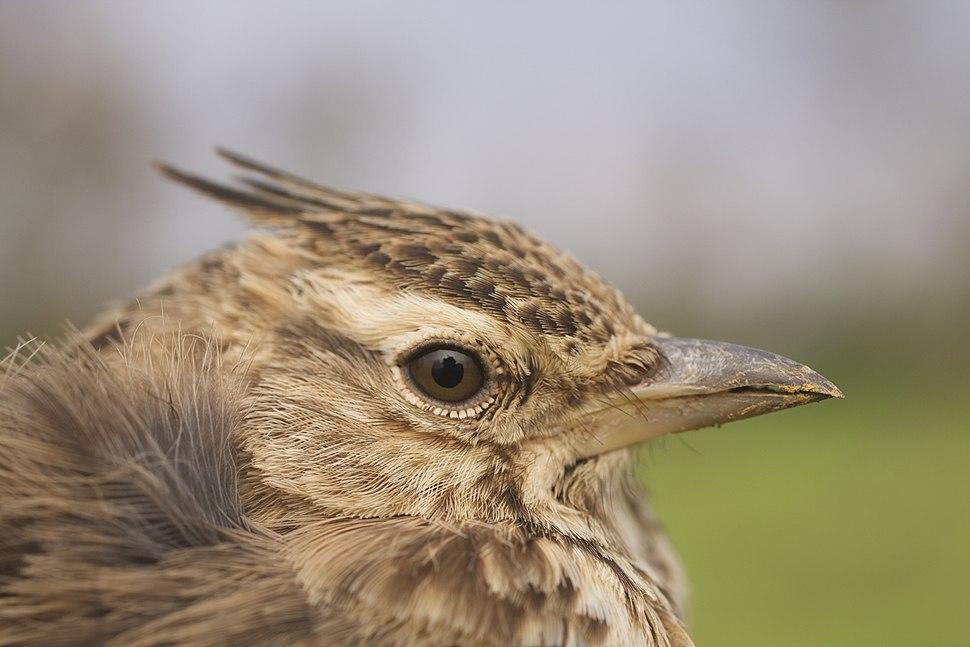 Bird Malabar crested lark IMG 2983 01