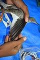Bird Ringing by BNHS by Raju Kasambe DSC 2456 (18) 03.jpg