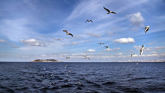 Seabirds in Sea of Marmara (istanbul)