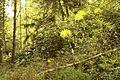 Birken Rhododendron-Wald Venner Moor MG 2355.jpg