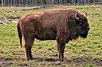 Bison bonasus Avesta.jpg