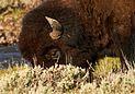 Bison bull headshot.jpg