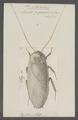 Blabera - Print - Iconographia Zoologica - Special Collections University of Amsterdam - UBAINV0274 065 02 0017.tif