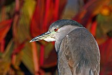 Black-Crowned-Night-Heron.jpg