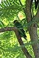 Black-masked Lovebird (Agapornis personata) (2855061766).jpg