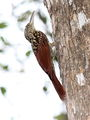 Black-striped Woodcreeper.jpg