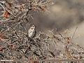 Black-throated Thrush (Turdus atrogularis) (39638240111).jpg