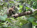 Black-tufetd marmoset juvenile BH Zoo.JPG