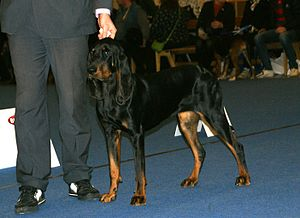 Black and Tan Coonhound - Black and Tan Coonhound