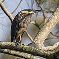 Black Bittern - Warriewood Wetlands.jpg