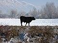 Black Bull - panoramio.jpg