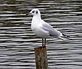 Black Headed Gull (Larus ridibundus) - geograph.org.uk - 1175312.jpg